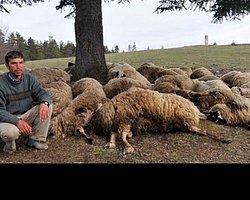 Yıldırım Düştü, 61 Koyun Telef Oldu