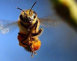 Arılar Vizeli Yolculuk Yapacak