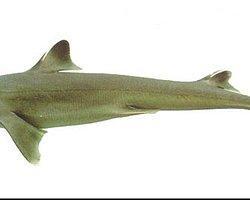 Marmara Denizinde Dev Köpek Balığı Yakalandı