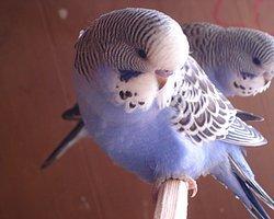 Muhabbet Kuşu Polislere Evinin Adresini Söyledi