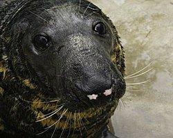 ABD Donanmasının Tornavida Kullanabilen Foku Öldü