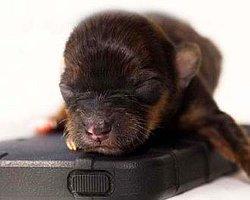 İşte En Küçük Köpek!