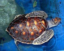 Deniz Kaplumbağalarının İlginç Yönleri