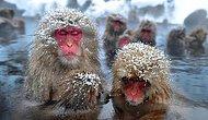 Karın Keyfini En Çok Onlar Çıkartıyor: Japon Kar Maymunları!