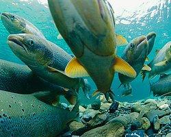 Genetiği Değiştirilmiş Somon Balığı Çiftlikten Kaçarsa...
