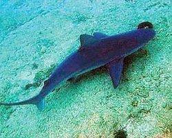 Bilimciler Kum Köpek Balıklarının Peşinde