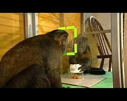 Adaletsizliği Kabul Etmeyen Şempanze!