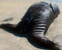 Siyam İkizi Balinalar Yaşayamadı