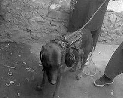 Taliban: 'Amerikan Köpeğini Kaçırdık'