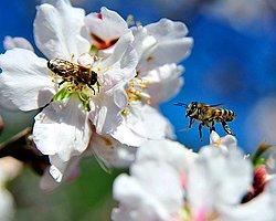 Arılar Erken İşbaşı Yaptı
