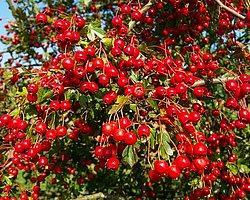 Damar Sağlığı İçin Alıç Meyvesi