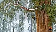 Dünyanın En Büyük Ağacı 126 Farklı Fotoğrafın Birleşimiyle Tek Karede Görüntülendi!
