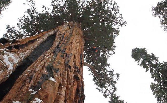 Ağaç yaklaşık 90 metre yüksekliğinde ve 3200 yaşında!