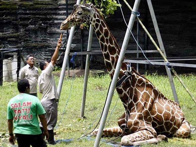 5. Zürafa Kliwon midesinde oluşan 20 kg ağırlığındaki plastik birikintisi yüzünden hayatını kaybetti.