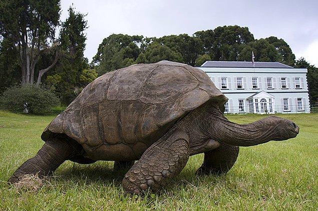 Ev hayvanı olarak dev kaplumbağası var.