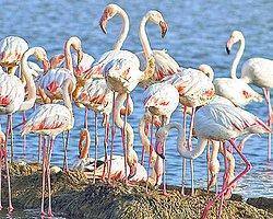 Gediz Deltası'nda Flamingo Bereketi
