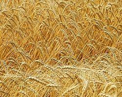 Buğdayda Korkutan Tablo