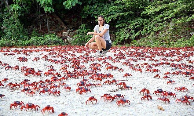 5. Christmas Adası yengeç akını: Her yıl 43 milyondan fazla kırmızı yengeç çiftleşmek ve yumurtalarını okyanusa bırakmak için kovuklarından çıkıp adada dolaşıyorlar.