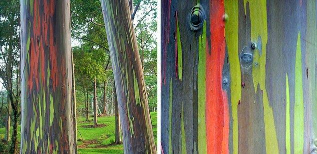 28. Gökkuşağı Okaliptüsü: Dış kabuğunda farklı zamanlarda ortaya çıkan mavi, mor, turuncu ve kavuniçi tonlarıyla gökkuşağına benzetilen bir ağaç türüdür.