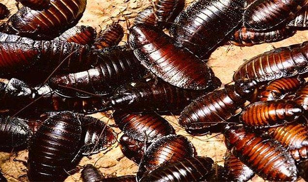 6. Hamamböceği yeme yarışmasında çok fazla hamamböceği yiyerek ölmek
