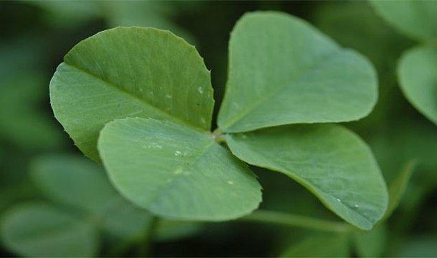 8. Dört yapraklı yoncanın şans getirmesi