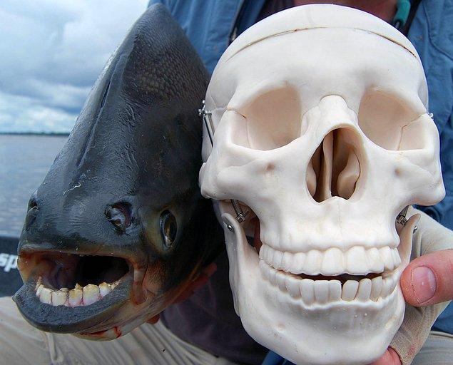 5. Pacu Balığı