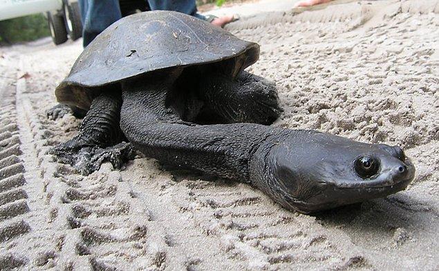 8. Uzun Boyunlu Doğu Kaplumbağası