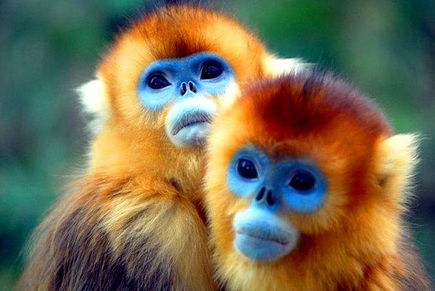 22. Altın Maymun