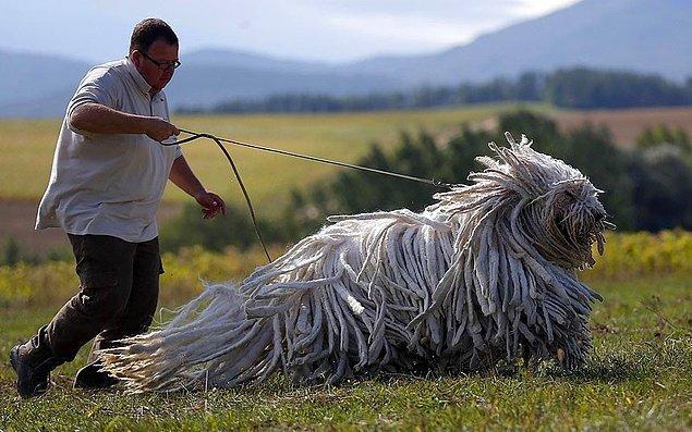31. Bergamasco Çobanköpeği