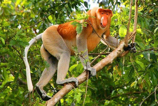 2. Proboscis Maymunu