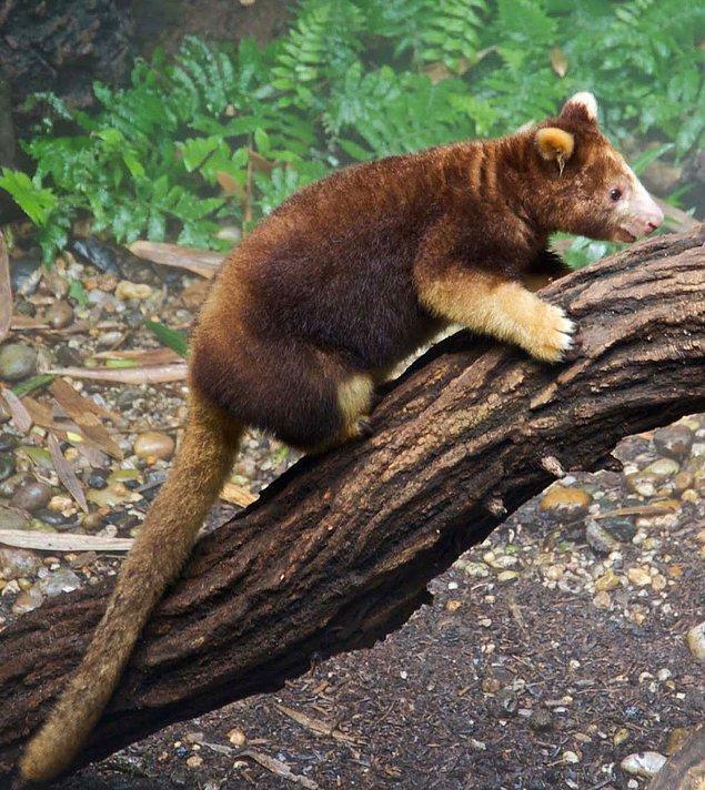 3. Ağaç Kangurusu
