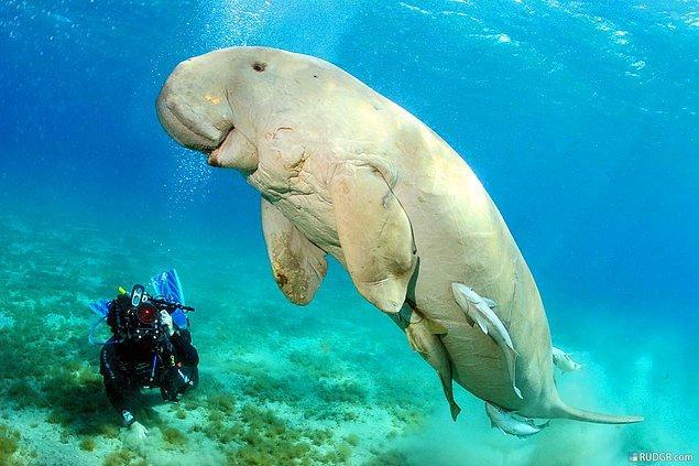 8. Dugong