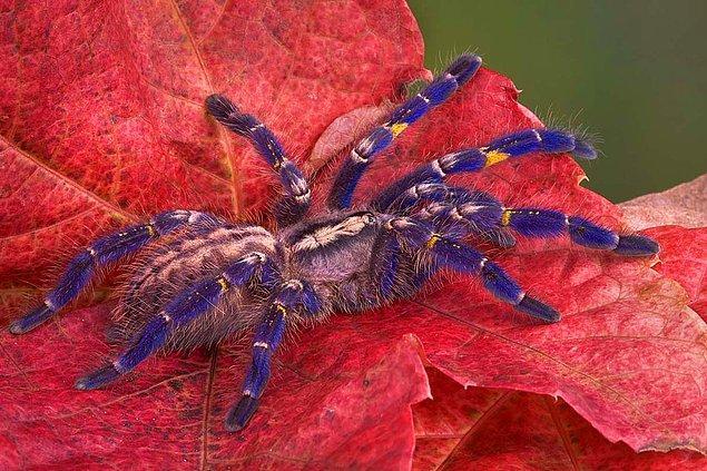 11. Gooty Örümceği