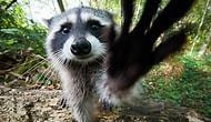 Rakunların Dünyanın En Tatlı Hayvanları Olduğunun 17 Kanıtı