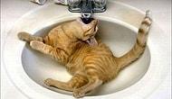 Lavabolar İle Tuhaf İlişkileri Olan 25 Şapşik Kedi