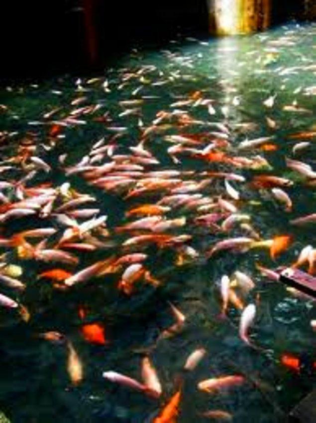 Balıkların nüfusu hızla artarak kendi yaşam alanlarını oluşturmuşlar