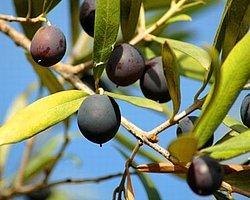 Zeytinlikleri Korumak İçin 68 Bin İmza