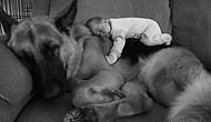 Bebekleri Kendi Evladı Gibi Seven Devasa 22 Köpek