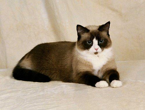 İngiliz büyüleyici kedi yavruları: çocuklara ne besleyeceğim