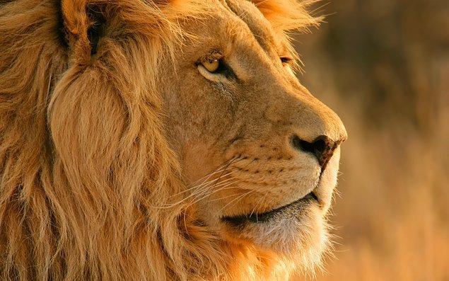 Aslanlar bir günde 50 kez sevişebilirler.