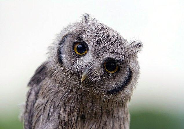 Baykuşlar mavi rengi görebilen tek kuş türüdür