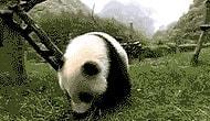 Pandaların Yuvarlanmak İçin Yaratıldığının 13 Kanıtı