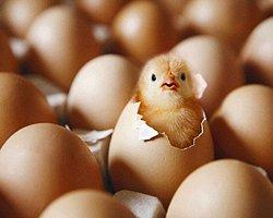 Civcivler Yumurtadan 17 günde mi çıkarlar?