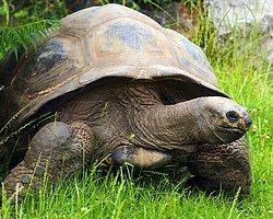 Dev Kaplumbağalar Sesle Yönlendiriyor