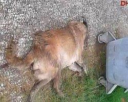 Sakarya'da Sokak Köpeklerini Barınağa Diye Götürüp Zehirlemişler