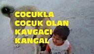 Çocukla Çocuk Olan Kavgacı Kangal