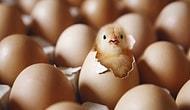 Neden Yumurtanın Bir Tarafı Sivri Bir Tarafı Yuvarlaktır ?