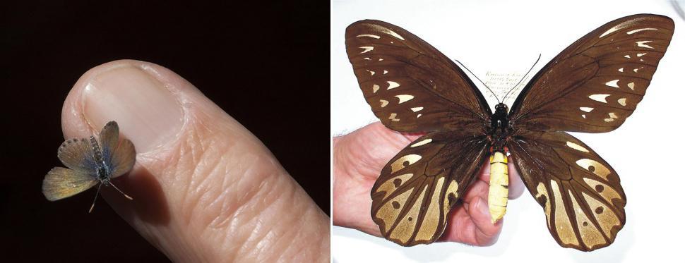 Самые маленькие бабочки