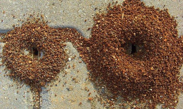13. Karınca yuvasının içine çeşitli yiyecek kalıntıları koymak ve izlemek.