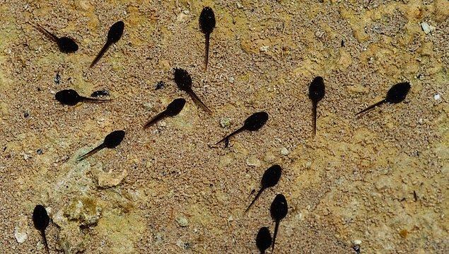 11. Kurbağa yavruları (iribaş) yakalamak.